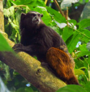 Saddlebacked tamarin