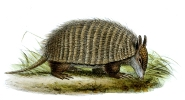 Screaming Hairy Armadillo