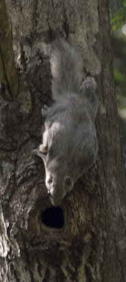 Siberian grey squirrel