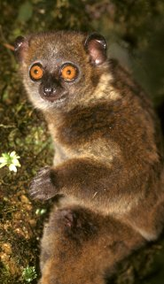 Small-toothed Sportive Lemur