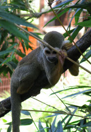 South American Squirrel Monkey