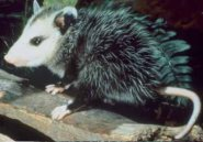 Southern common opossum