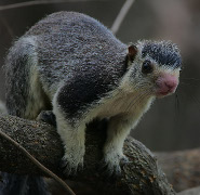 Sri Lankan giant squirrel