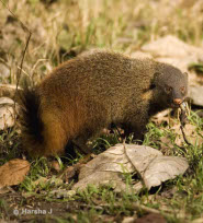 Stripe necked mongoose