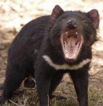 [Image: tasmaniandevil.jpg]