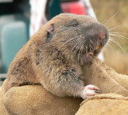 Western pocket gopher